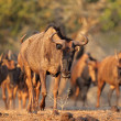 Blue wildebeest — Stock Photo #39037657