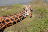 Masai giraffe — Stock Photo