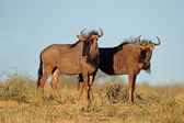 Blue wildebeest — Stock Photo