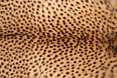 Cheetah skin — Stock Photo