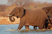 Elephant in water — Stockfoto