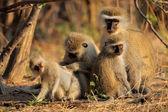 Vervet monkeys — Stockfoto