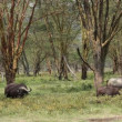 Stock Video: Grazing Africbuffaloes