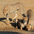 Cheetahs drinking water — Stock Photo