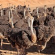 Ostriches — Stock Photo