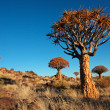 Stock Photo: Quiver tree landscape