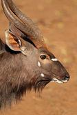 Nyala antelope portrait — Zdjęcie stockowe