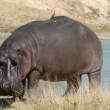 Hippopotamus — Stock Video #39486559