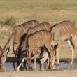 Stock Video: Kudu antelopes drinking