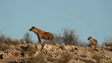 Spotted hyenas — Stock Video