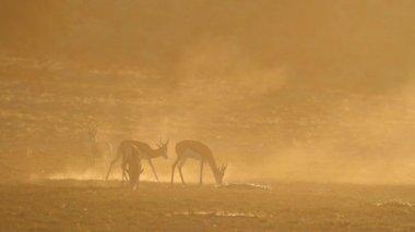 Springbok at sunrise — Stock Video