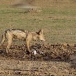 Stock Video: Black-backed Jackal eating dove
