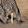 Stock Video: Plains Zebras drinking