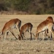Stock Video: Red lechwe antelopes