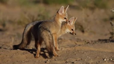 Cape foxes — Stock Video