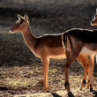 Stock Photo: Backlit impalantelopes