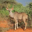 Stock Photo: Kudu antelope