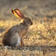 Stock Photo: Scrub hare