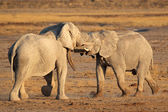 African elephants fighting — Stockfoto