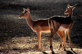 Backlit impala antelopes — 图库照片