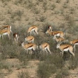 Stock Video: Feeding springbok antelopes