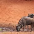 Stock Video: Wildebeest at waterhole