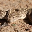 Stock Video: Defensive puff adder