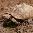 Stock Video: Leopard tortoise