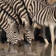 Plains Zebras drinking — Stock Video #41444609