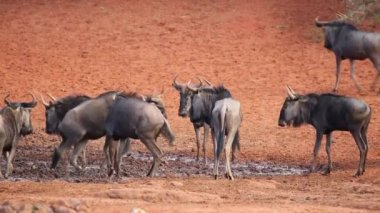 Wildebeest at waterhole — Stock Video