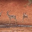 Stock Video: Impala antelopes at waterhole