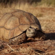 Leopard tortoise — Stock Video #41842749
