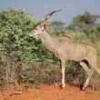 Stock Video: Kudu bull feeding