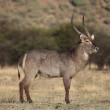 Stock Video: Waterbuck bull