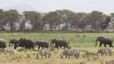 African elephants and plains zebras — Stock Video