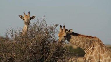 Alimentação girafas — Vídeo stock