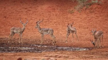 Impala antelopes at waterhole — Vídeo Stock