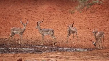Impala antelopes at waterhole — Vídeo de stock
