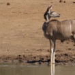 Stock Video: Alert kudu antelope