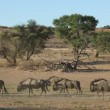 Stock Video: Blue wildebeest walking