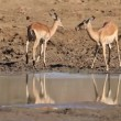 Stock Video: Impalantelopes drinking