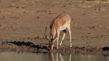 Impala antelope drinking — Stockvideo