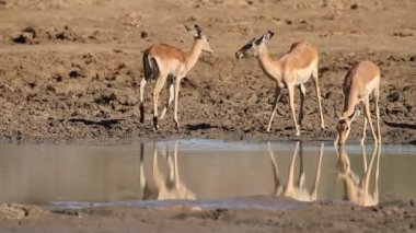 Impala antelopes drinking — Stock Video