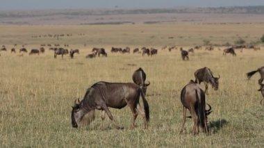 Playful wildebeest — Stock Video