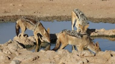 Black-backed Jackals — Stock Video
