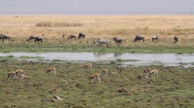 Wildlife in Amboseli marshland — Stock Video
