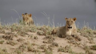 African lions — Stockvideo