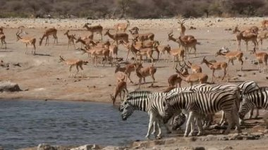 Etosha waterhole — Video Stock