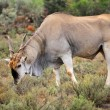 Eland antelope — Stock Photo #44410481