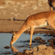 Impala antelope at waterhole — Stock Photo #44410519